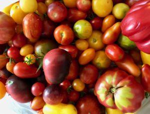 Leckere Gartentomaten